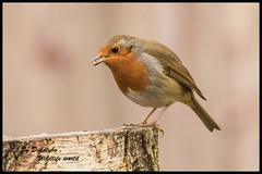 Robin . (Diddley Bo) Tags: