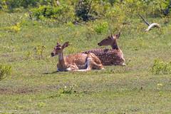 J7. Yala - Cerf axis (Darth Jipsu) Tags: yala 4x4 asia axis nationalpark srilanka horn jeep animal wild wildlife chital ceylon ceylan mammal park national spotted deer safari southernprovince lk