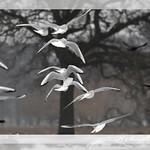 Bushy Park Gulls, terns and jackdaws thumbnail