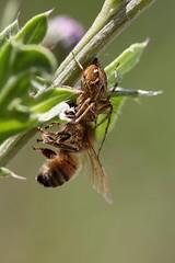 1N6A4687.Araignée Lynx tueuse ( UNIXetvous ) Tags: araignée plant spider insect abeille bee