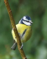 Blue Tit (Treflyn) Tags: back garden earley reading berkshire uk blue tit bird