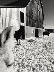 Hanging out at the barn (tanyaarnett95) Tags: blackwhite bw barn farm horse blackandwhite project365 monochrome winter snow texture lights dark building animal