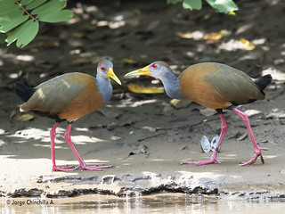 Russet-naped Wood-Rail (Aramides albiventris)
