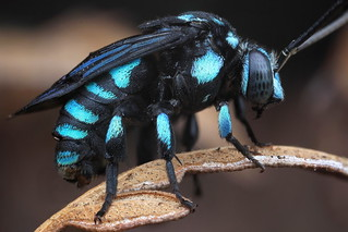Neon Cuckoo Bee - Thyreus nitidulus