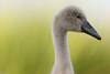 'Alberto's Profile Pic' (Jonathan Casey) Tags: cygnet swan norfolk uk nikon d810 400mm f28 vr