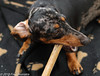 """Bussy with my new bone"" (Fred / Canon 70D) Tags: ef50mmf14usm canon70d canoneos canon canonspeedlite430ex brindleminiaturedachshund getijgerdedwergteckel dwergteckel dapple teckel dachshund dog eefde jetje closeup portrait huisdier"