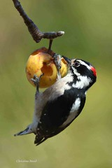 Hairy Woodpecker (cmstead) Tags: hairy woodpecker apple food