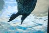 Spotted Manatee Sashay (marylea) Tags: detroitzoo detroit zoo royaloak aug16 2013 manatee acquarium summer michigan sashay detroitzoologicalpark zoologicalpark