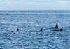 A Pod of Orcas (lgib_photography) Tags: animal wildlife water seasky