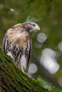 Fledgling Red-tailed Hawk