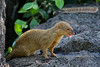 Mongoose Threatening Pose (AlaskaFreezeFrame) Tags: mongoose hawaii kona hilo invasivespecies weasellike canon 70200mm outdoor outdoors nature wildlife vacation asianmongoose mammal carnivore herpestesjavanicus bigisland diurnal predator alaskafreezeframe fast