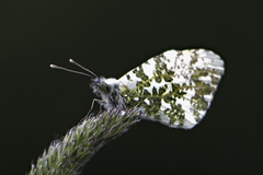 Anthocharis cardamines 2012-1 (L Nysteen) Tags: annisse aurora cardamines han male orangetip anthochariscardamines butterfly