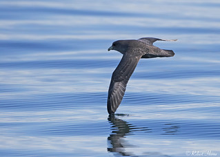 Northern Fulmar (Dark Morph)