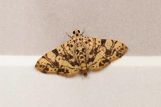 Jackfruit Borer Moth (Glyphodes caesalis, Spilomelinae, Crambidae)