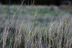 Grasses (RCS-photography) Tags: photography marina boats boat yard wildlife birds water animals redshank tea seagull robin hills uphill nature