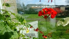 Geraniums flowering in bedroom window 15th February 2018 002 (D@viD_2.011) Tags: geraniums flowering bedroom window 15th february 2018