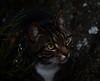 antony vid Hesjön (anderssonjakob684) Tags: antony katt cat eyes