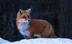 American Red Fox (NicoleW0000) Tags: americanredfox redfox fox wild wildlife nature outdoor winter photography snow woods ontario