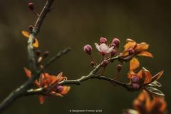 Cherry blossom (frattonparker) Tags: btonner bokeh depthoffield isleofwight lightroom6 nikond810 prime raw soligor135mmf28 frattonparker