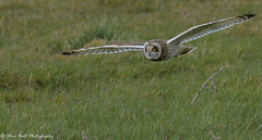 Short Eared Owl (Steve Ball Photography) Tags: shortearedowl owl british wildlife birdofprey bird prey raptor uk