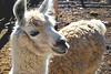 Lhama (Anselmo Portes) Tags: lhama llama argentina salta alfarcito animal southamerica andes cute américadosul