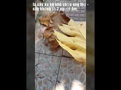Lá cây sa kê chữa ung thư rụng đầy gốc kg ai nhặt _ Nhà Hàng cơm niêu vn (gomsusangtaovietnam) Tags: lá cây sa kê chữa ung thư rụng đầy gốc kg ai nhặt nhà hàng cơm niêu vn