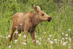 Baby Moose Calf (AlaskaFreezeFrame) Tags: moose calves moosecalves cute canon alaska alaskafreezeframe anchorage nature outdoors wildlife 70200mm mammals herbivore baby babies spring work closeup portrait beautiful dandelions