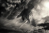 Falling (Chrisnaton) Tags: crow blackandwhite surreal clouds flying wings sky falling