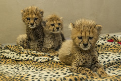Cheetah Cub Triplets (San Diego Zoo Global) Tags: sandiegozooglobal©2016 babyanimals cheetahs cheetah animals cuteanimals bigcats cats cubs safaripark conservation endextinction