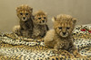 Cheetah Cub Triplets (San Diego Zoo Global) Tags: sandiegozooglobal©2016 babyanimals cheetahs cheetah animals cuteanimals bigcats cats cubs safaripark conservation endextinction