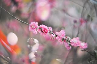 Peach Blossom 3