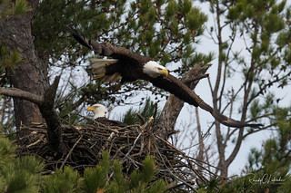 Bald Eagles of the Jersey Shore | 2018 - 21