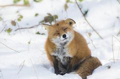 cold (mond.raymond1904) Tags: fox dodder river dublin ice snow cold shiver