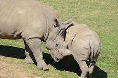 DSC_4139 (Andrew Nakamura) Tags: animal mammal rhino rhinoceros whiterhinoceros southernwhiterhinoceros southernwhiterhino rhinojuvenile playingaround sandiegozoosafaripark safaripark escondido
