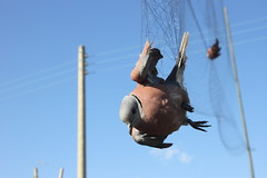 紅鳩(Streptopelia tranquebarica) (jayru chan) Tags: bird net ngc