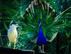Territorial (Pedro1742) Tags: peacock heron two