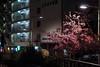 河津櫻|押上 (里卡豆) Tags: sumidaku tōkyōto 日本 jp olympus penf 45mm f12 pro olympus45mmf12pro 櫻花 河津櫻 cherryblossom cherry 東京 tokyo tokyocity 關東 kanto