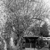 Full bloom (odeleapple) Tags: mamiya c330 mamiyasekor 65mm kodak tmax 100 film monochrome analog ume shrine bloom