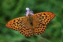 Argynnis paphia (Hugo von Schreck) Tags: hugovonschreck schmetterling falter makro macro insect insekt butterfly canoneos5dsr tamron28300mmf3563divcpzda010 onlythebestofnature buzznbugz