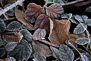 Blackberry Leaves