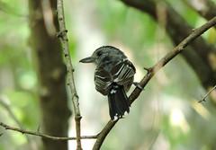 131.Batara-Occidental (Anidados) Tags: bird nature