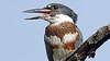 Belted Kingfisher (photosauraus rex) Tags: bird kingfisher megacerylealcyon beltedkingfisher