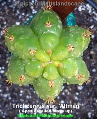 Trichocereus var 'Altman' (Pic# 5 apex detailed close up) (mattslandscape) Tags: trichocereus altmans altman trichocereushybrids var kaktuz kakteen variety cactus cacti monstrous monstrosa crested crestata pachanoi
