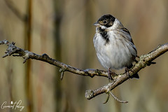 Reed Bunting (geraintparry) Tags: south wales southwales nature geraint parry geraintparry landscape parc slip parcslip tree branch wildlife reed bunting