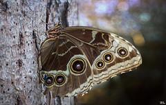 Im Schmetterlingshaus (roland_lehnhardt) Tags: allgäu canon eos60d ef100mmf28usm macro makroaufnahme nahaufnahme schmetterling schmetterlinghausinpfronten tiere animals butterfly closeup
