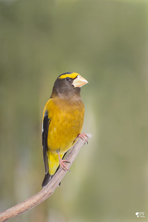 ''Honneur!'' Gros-bec errant- Evening Grosbeak