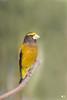 ''Honneur!'' Gros-bec errant- Evening Grosbeak (pascaleforest) Tags: oiseau bird passion lifer nikon nature paradis wild wildlife faune québec canada animal winter hiver