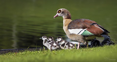 Egyptian Goose Family (Paula Darwinkel) Tags: egyptiangoose goose geese family goslings birds animals wildlife nature