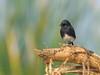 bushchat (Nikondxfx (instagram)) Tags: 200500 birdphotography birds birdsofdelhi d750 delhi delhigram najafgarh nikkor nikon fullframe sunday piedbushchatmale