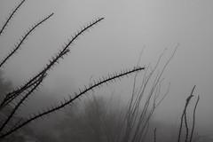 Tum022_small (patcaribou) Tags: tucson tumamochill sonorandesert fog cactii saguarocactus